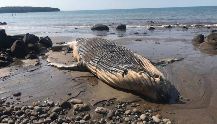 Aparece una ballena muerta en Punta Mita