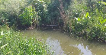 Pequeño cocodrilo vive en canal de los tules, pero no es peligroso
